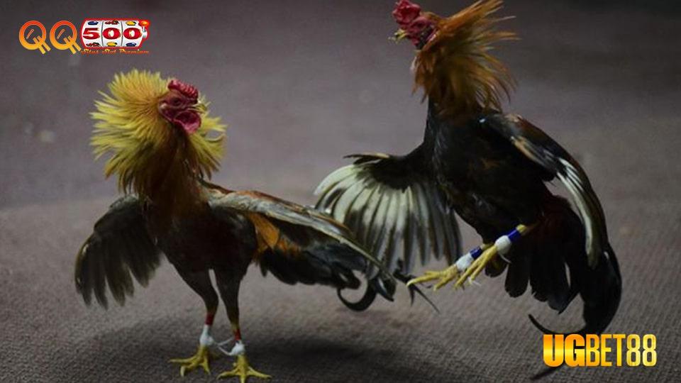 Bandar Sabung Ayam Terbaik UGbet88