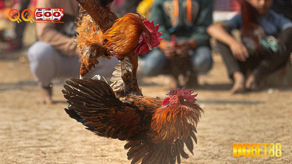 Situs Sabung Ayam Terbesar UGbet88